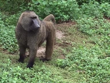 Nov 7 baboon standing