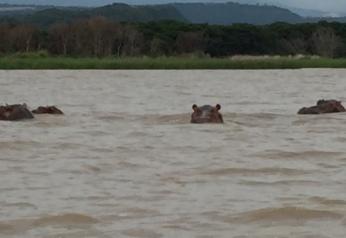 Nov 7 hippos 2