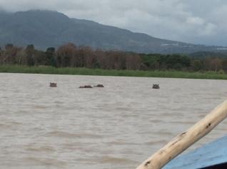 Nov 7 hippos